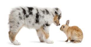 Cucciolo blu di Merle Australian Shepherd faccia a faccia con coniglio immagini stock