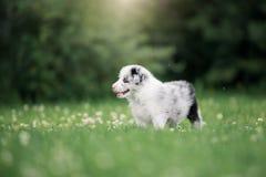 Cucciolo border collie che cammina sull'erba immagini stock libere da diritti