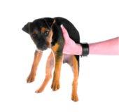 Cucciolo che è tenuto Immagini Stock Libere da Diritti