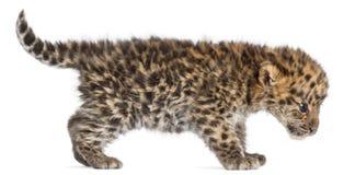 Cucciolo che cammina, orientalis di pardus della panthera, vecchio 6 settimane del leopardo dell'Amur immagini stock libere da diritti