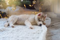 Cucciolo che dorme, festa del husky del nuovo anno Fotografia Stock