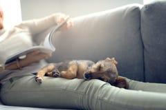 Cucciolo che dorme sui rivestimenti del proprietario fotografia stock