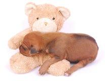 Cucciolo che dorme sull'orso di orsacchiotto Immagini Stock