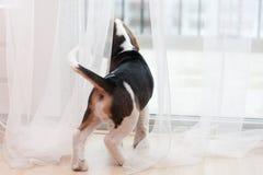 Cucciolo che esamina finestra immagine stock libera da diritti