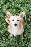 Cucciolo che esamina gli occhi Fotografia Stock