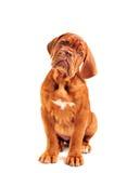 Cucciolo che esamina macchina fotografica Immagini Stock Libere da Diritti