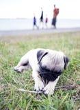 Cucciolo che gioca con il bastone Fotografie Stock