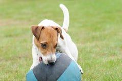 Cucciolo che gioca con la palla di pallacanestro che sembra accorta per la sua preda immagine stock