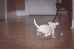 Cucciolo che insegue una palla Fotografia Stock