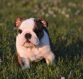 Cucciolo che mangia erba Fotografia Stock