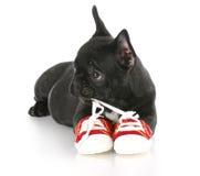 Cucciolo che mastica i pattini Fotografie Stock