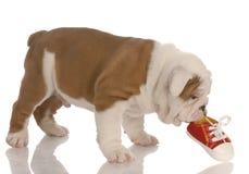 Cucciolo che mastica sul pattino Immagine Stock