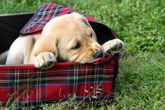 Cucciolo che mastica una valigia Fotografia Stock
