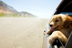 Cucciolo che osserva fuori finestra dell'automobile Fotografia Stock