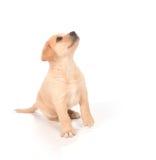 Cucciolo che osserva in su Immagine Stock Libera da Diritti