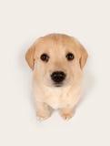 Cucciolo che osserva in su Fotografia Stock