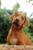 Cucciolo che osserva in su Fotografie Stock