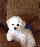 Cucciolo che riposa nella sedia Fotografie Stock Libere da Diritti
