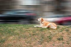 Cucciolo che riposa sull'erba del bordo della strada in Front Of Blurred City Traffic Stanza per testo Immagini Stock Libere da Diritti