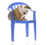 Cucciolo che si siede su una presidenza Fotografia Stock