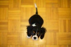 Cucciolo che si siede sul pavimento fotografia stock