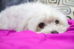 Cucciolo che si trova sul letto immagine stock