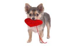 Cucciolo che tiene cuore rosso Fotografie Stock