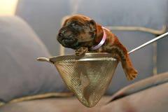 Cucciolo cieco Fotografia Stock Libera da Diritti