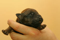 Cucciolo cieco Immagine Stock