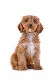 Cucciolo Cockapoo isolato su bianco Fotografia Stock Libera da Diritti