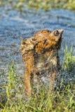 Cucciolo cocker spaniel del cane che gioca nell'acqua Fotografie Stock