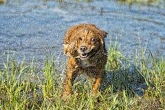 Cucciolo cocker spaniel del cane che gioca nell'acqua Fotografie Stock Libere da Diritti