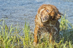 Cucciolo cocker spaniel del cane che gioca nell'acqua Fotografia Stock Libera da Diritti