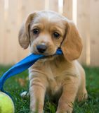 Cucciolo con il giocattolo Fotografia Stock Libera da Diritti