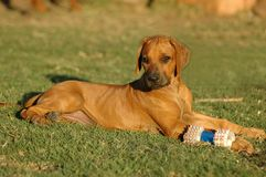 Cucciolo con il giocattolo Fotografie Stock Libere da Diritti