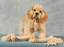 Cucciolo con il giocattolo della corda fotografia stock