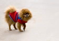 Cucciolo con il panno Fotografia Stock