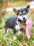 Cucciolo con l'arco rosa nell'iarda fotografia stock