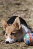 Cucciolo con la palla Fotografie Stock
