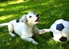 cucciolo con la palla in bianco e nero Immagini Stock Libere da Diritti