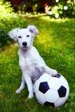 cucciolo con la palla in bianco e nero Immagini Stock