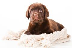 Cucciolo con la sciarpa di lana su bianco Fotografia Stock Libera da Diritti