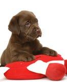 Cucciolo con un giocattolo rosso. Fotografie Stock