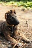 Cucciolo con un ramo Fotografie Stock