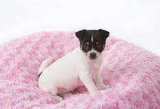 Cucciolo in coperta rosa fotografie stock libere da diritti