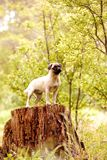 Cucciolo coraggioso del pug Immagine Stock
