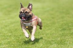 Cucciolo corrente del bulldog francese Fotografie Stock Libere da Diritti