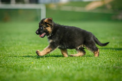 Cucciolo corrente del pastore tedesco Fotografie Stock Libere da Diritti