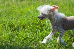 Cucciolo crestato cinese del cane Immagine Stock Libera da Diritti