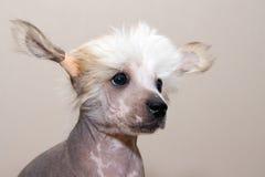 Cucciolo crestato cinese della razza Fotografia Stock